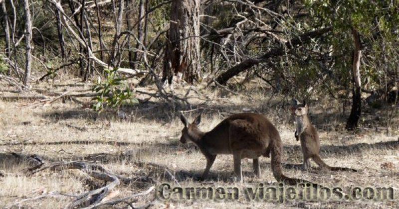 Canguros en el Kaiser Stuhl National Park, de nuestro recorrido por Australia por libre
