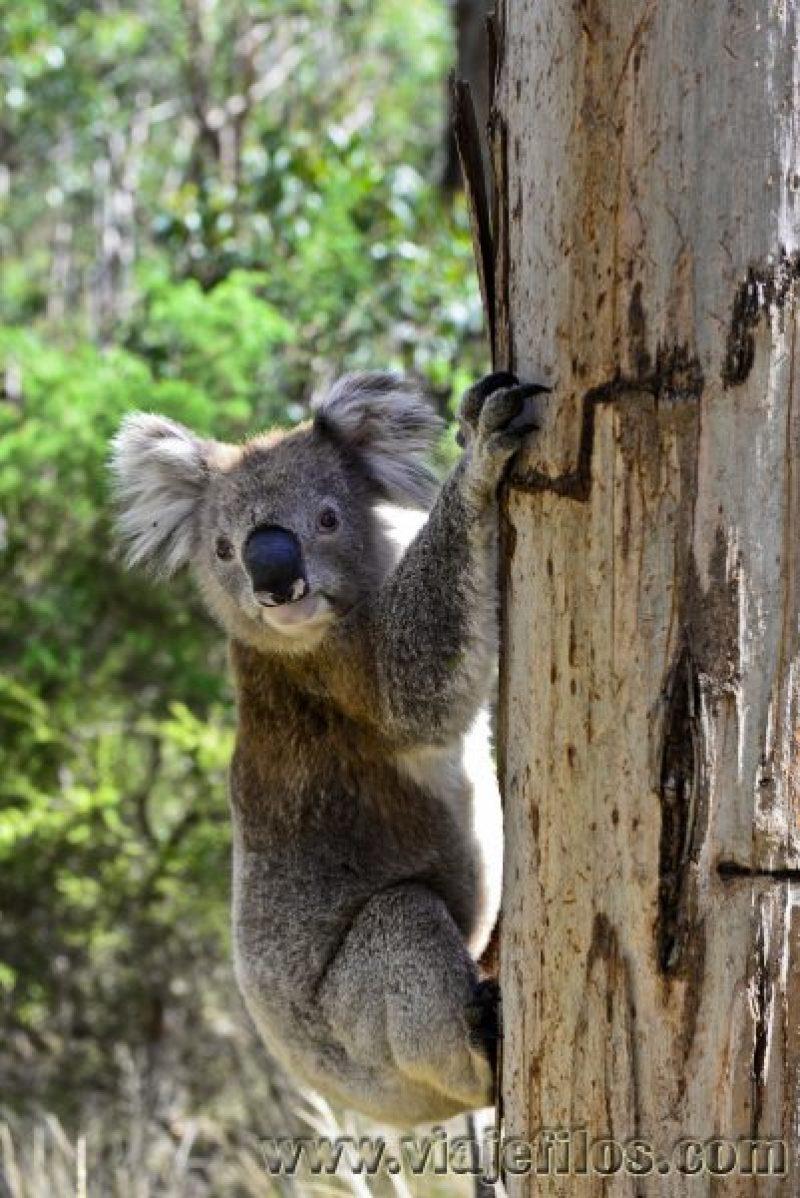 Un simpático koala que se cruzo con nosotros en la Great Ocean Road