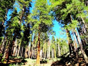 Sequoias Gigante de Mariposa Grove - Yosemite National Park