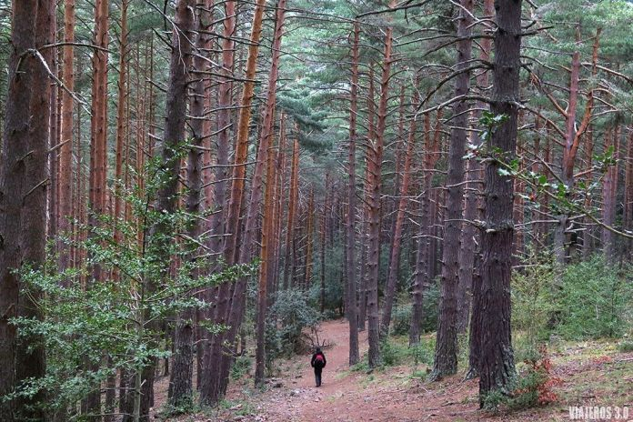 pinares en la ruta por las cascadas de Puente Ra en la Sierra de Cebollera