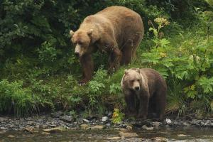osos en Brasov