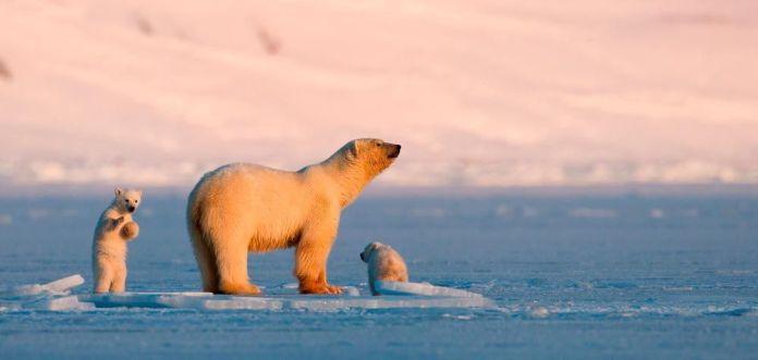 Osos polares en Svalbard, qué ver en Noruega en invierno