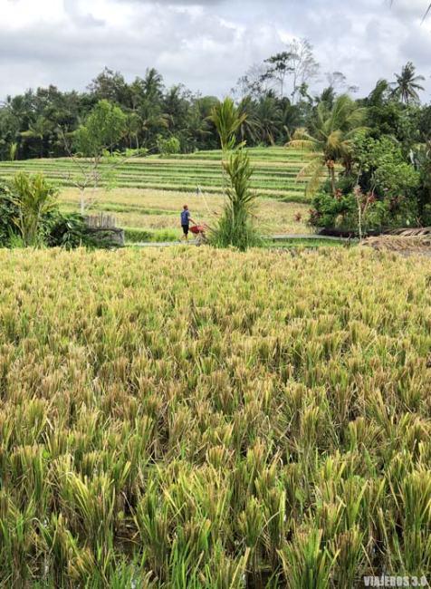 Arrozales, que hacer y que ver en Ubud, Bali.