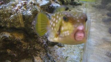 Dónde comer fugu o pez globo, y gastronomía en Osaka (Japón) - Restaurante japonés Zuboraya. ViajerosAlBlog.com