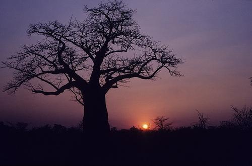 Baobab sunset, Botswana