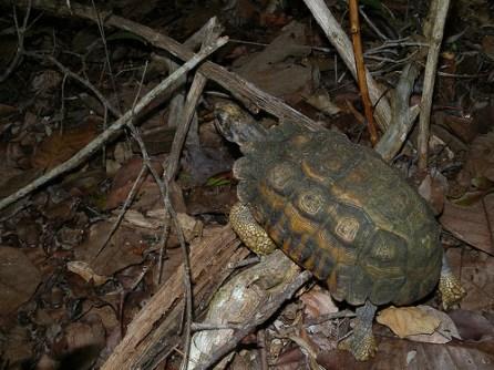 Spider Tortoise, Selva Kirindy