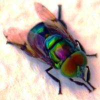 La asquerosa mosca del gusano