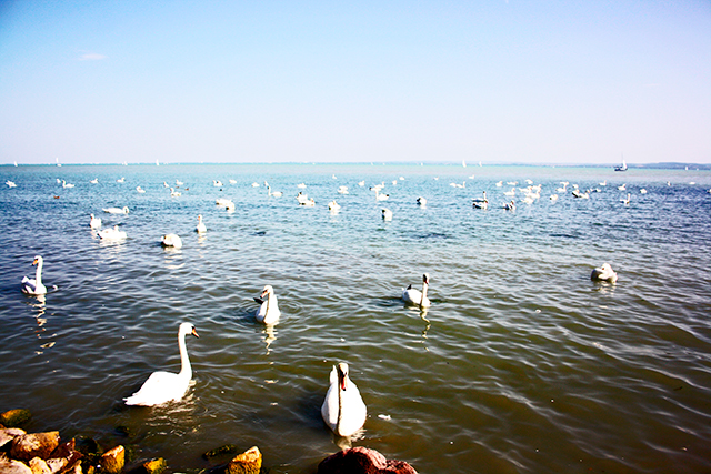 Lago Balaton cisnes