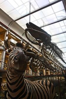 Cebra disecada esqueleto dinosaurio Museo Historia Natural Dublín