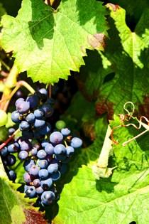 Uvas viñedo jardines de Villandry