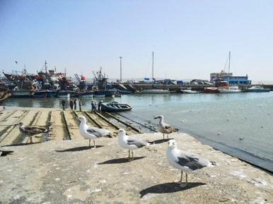 Gaviotas puerto Essaouira