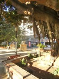 Ficus milenario parque canalejas Alicante