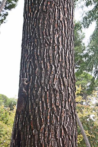 Ardilla trepando árbol parque Abelardo Sánchez Albacete