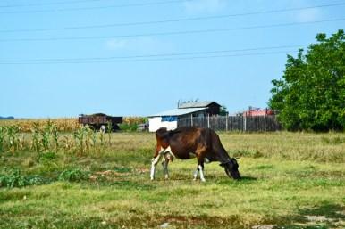 Vaca caminos rurales Monasterio Mogosoaia Rumanía
