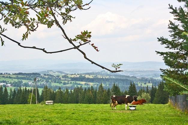 Vacas pastando prados Zakopane Montes Tatras Polonia