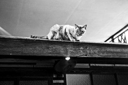 Gato acecho tejado Good Times Resort Kanchanaburi