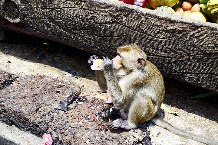 Mono bebiendo yogurt Lopburi Tailandia