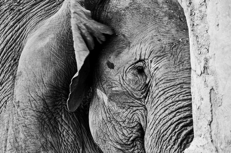 Ojo expresión emociones elefante blanco y negro Elephant Nature Park Chiang Mai