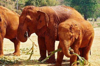 Elefantes adulto bebé comiendo Elephant Nature Park Chiang Mai