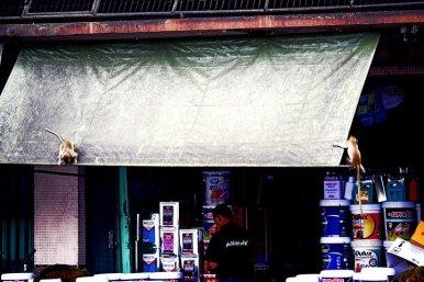 Monos subiendo toldo tienda centro ciudad Lopburi