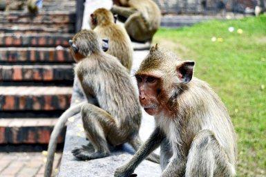 Monos primer plano esperando escalera templo monos Lopburi