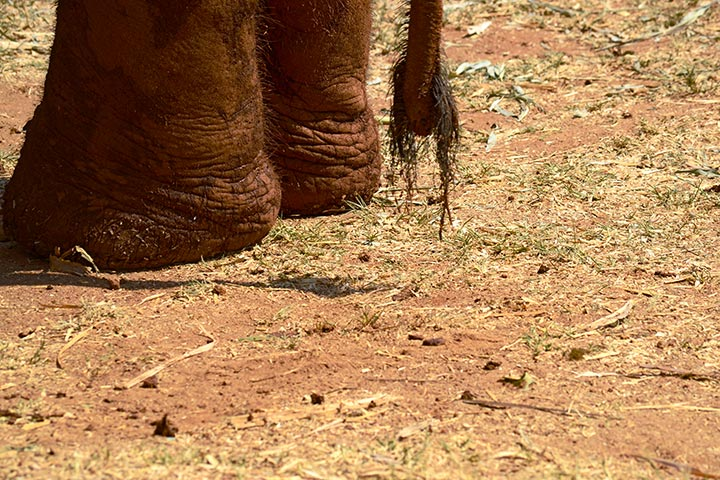 Patas pelos cola elefante Elephant Nature Park Chiang Mai