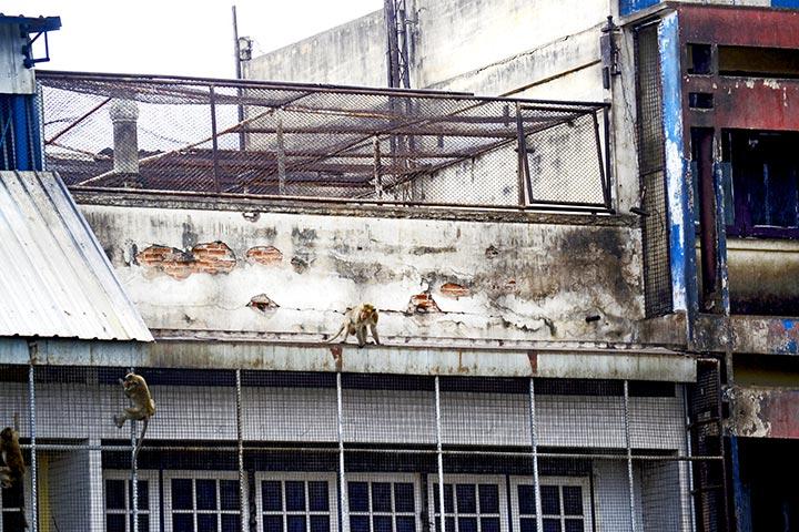 Monos trepando fachadas edificios antiguos Lopburi