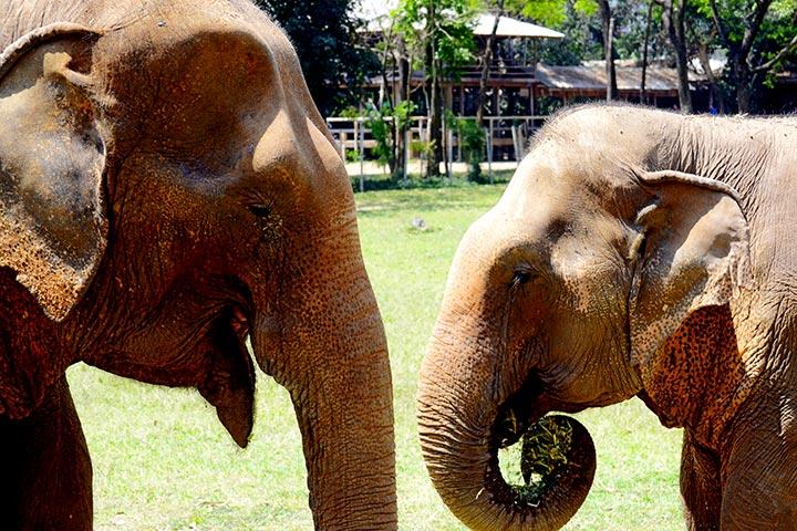 Elefante madre hija amor trompa Elephant Nature Park Chiang Mai