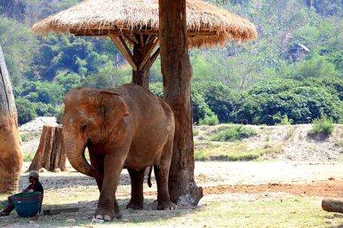 Cuidador elefante sombrilla césped Elephant Nature Park Chiang Mai