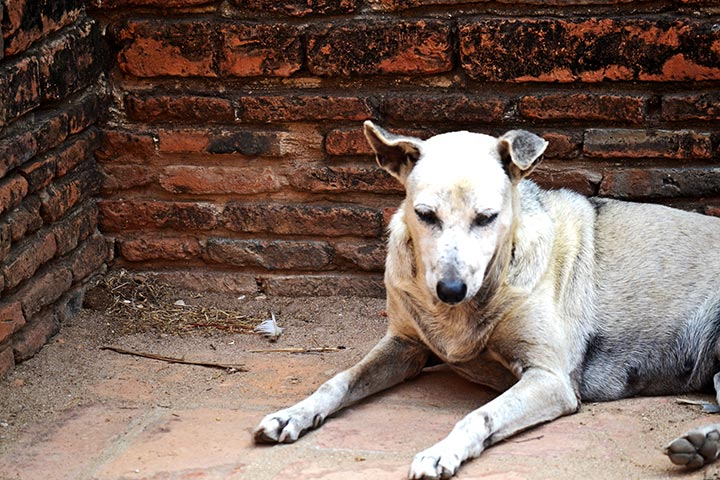 Perro callejeros restos Wat-Phra-Si-Sanphet Ayutthaya