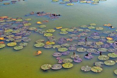 Flantas flotando charca Sukhothai Tailandia