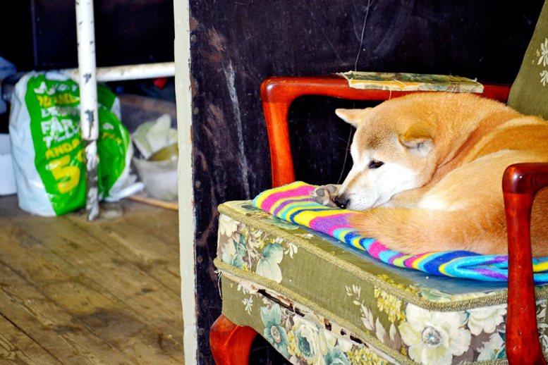 Perro Akita descansando sofá vintage vivienda Fjaderholmarna Suencia