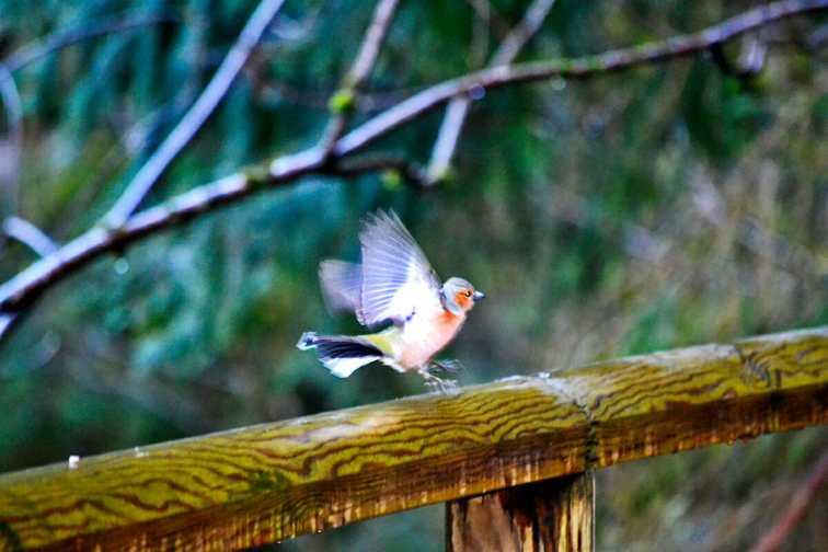 Detalle pájaro abriendo alas barandilla cascadas Triberg Selva Negra Alemania