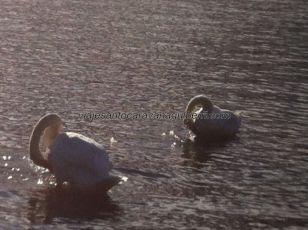 cisnes bailando al compás, ....inventarían ellos la atractiva natación sincronizada?