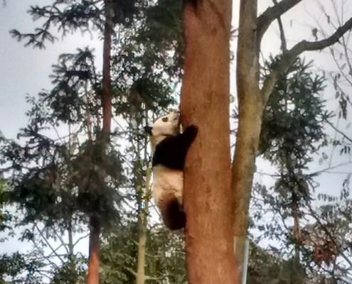Diferentes imágenes de los osos panda