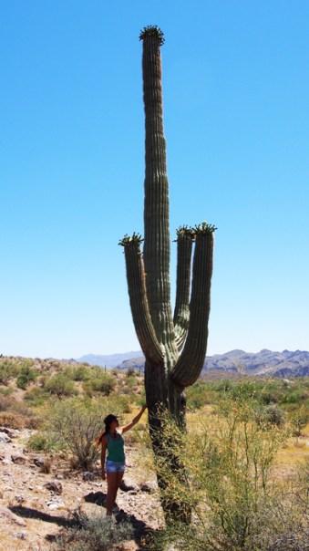 Sete con saguaro