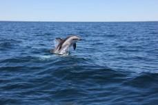 Delfín oscuro (Lagenorhynchus obscurus) en Golfo Nuevo.