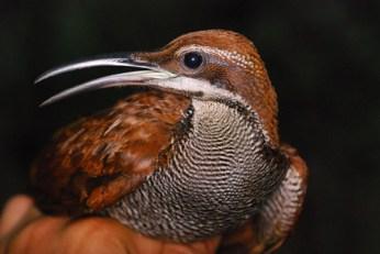 Ptiloris magnificus