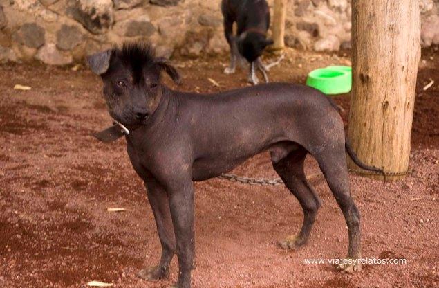 perro-mexicano
