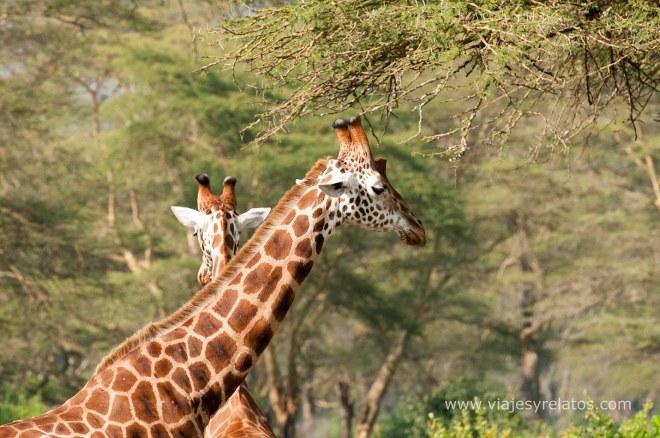 nakuru-giraffe