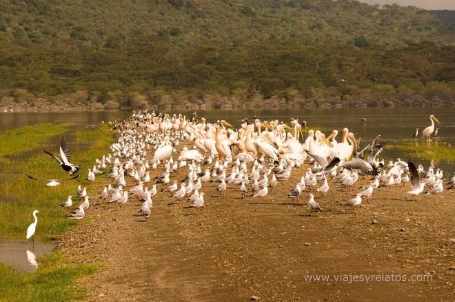 nakuru-lake-birds