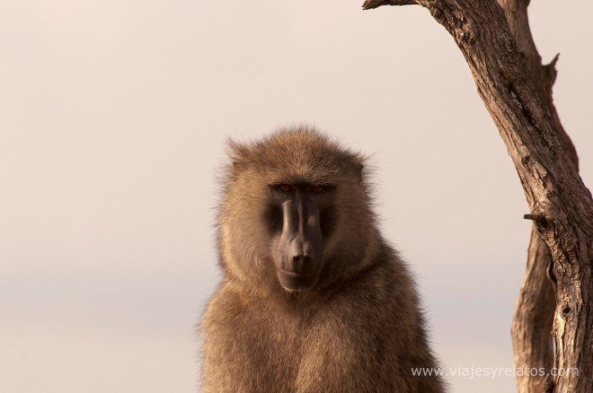 nakuru-monkeys
