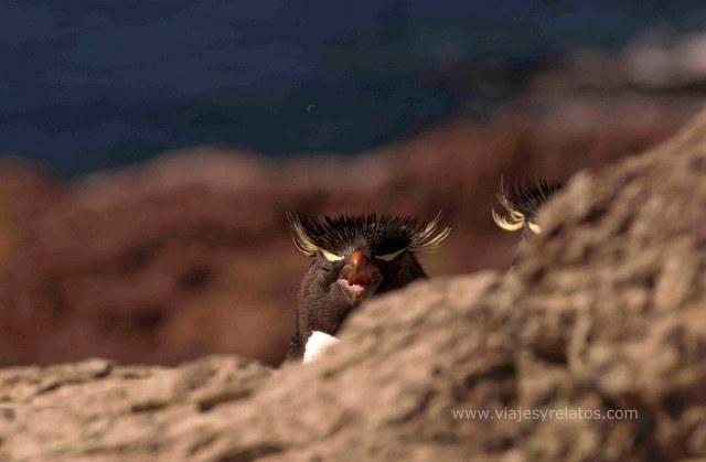pinguino-penacho-amarillo
