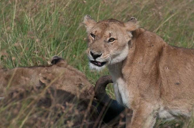 masai-mara-leones-4