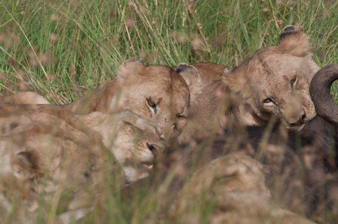 masai-mara-leones-5