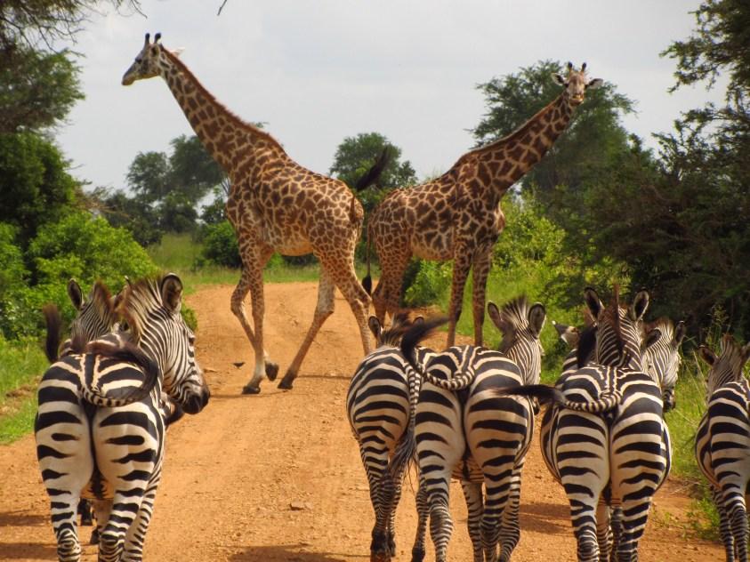 1560396639995_zebras-765885_1920 (1)
