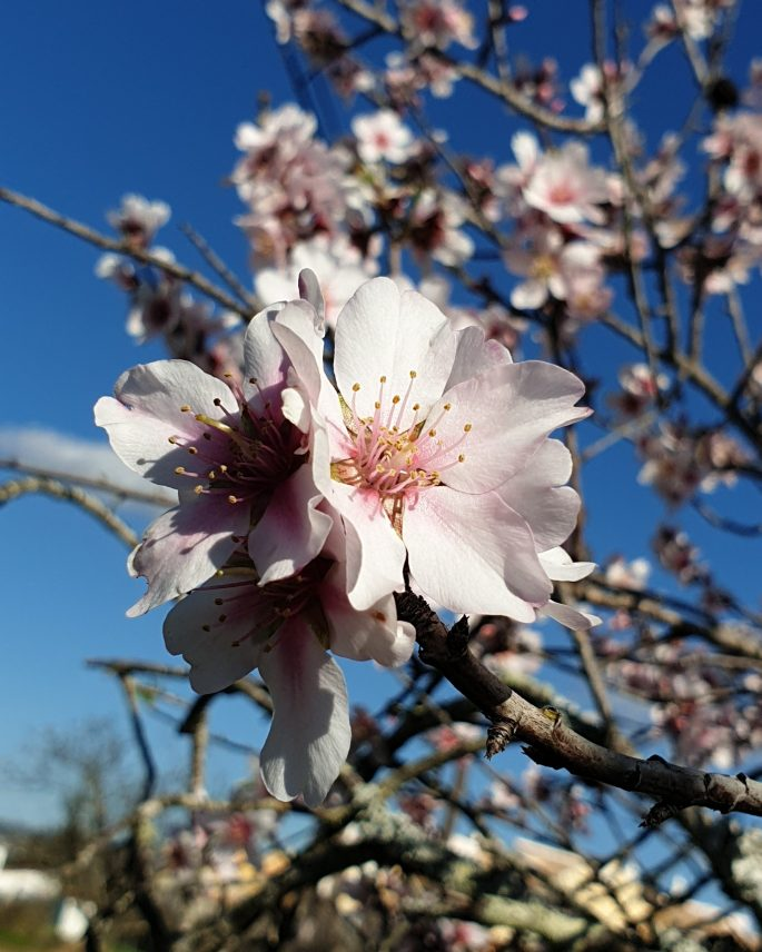 Almond blossom Spring in the air