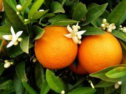 laranja portuguesa