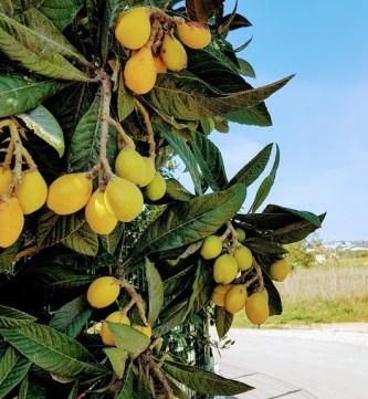 kumquat, Algarve, Appelsiininkukka, UNKNOWN PORTUGAL