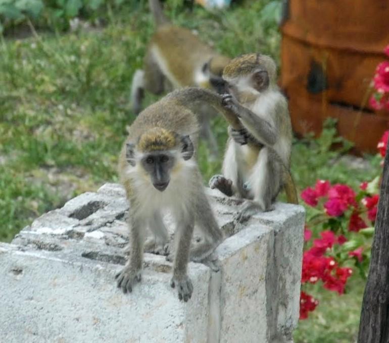 Elämäni paras lomamatka Barbados vihreitä apinoita